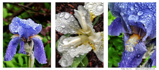 Iris, Rainy Day, Conservatory Garden, Central Park, NYC