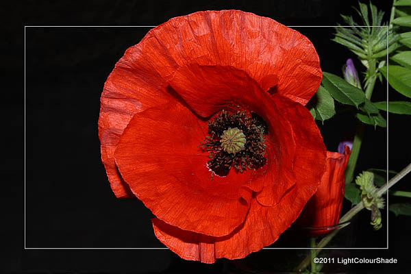 Opium poppy (Papaver somniferum) on dark background