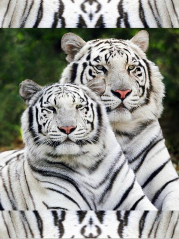 wallpaper tiger cub. dresses Tiger Cubs hd
