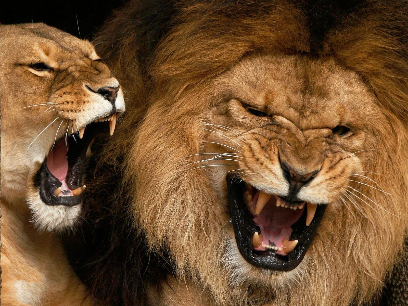 http://4.bp.blogspot.com/-IZkYPnnvpkQ/UBeFne_5ETI/AAAAAAAAAXs/jjrnU_KpeGI/s1600/lions%2Bfull%2Bhd%2Bwallpapers%2B1.jpg