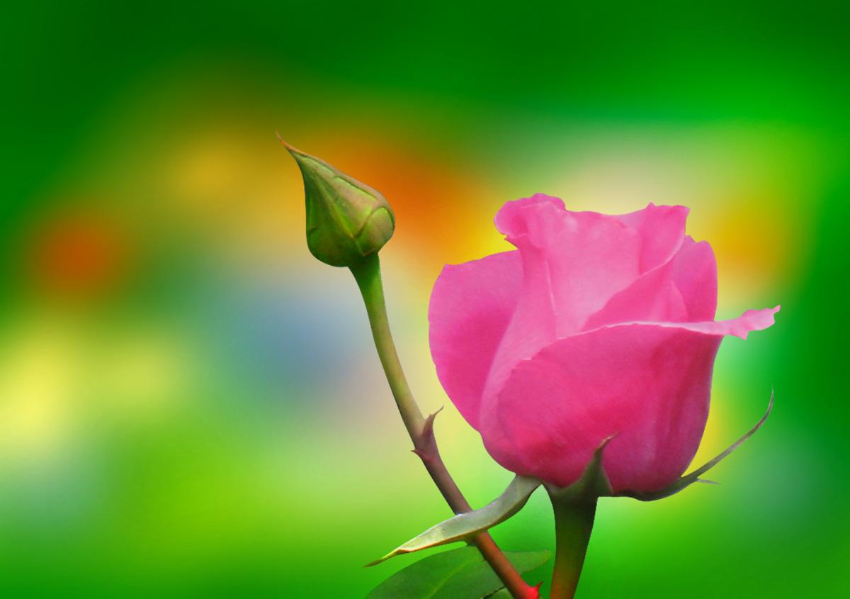 pink rose flower bud on green background artline feel. Black Bedroom Furniture Sets. Home Design Ideas