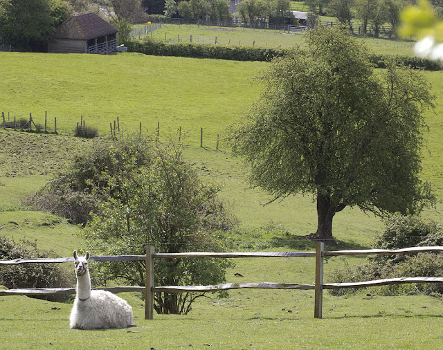 Llama. One Tree Hill, 27 April 2012.