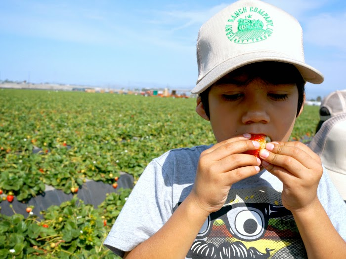 Boy eating strawberry // livingmividaloca.com #JustAddStrawberries