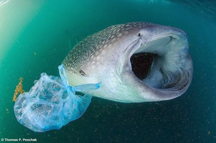 """Tubarões-baleia ingerem grandes quantidades de plástico ao """"filtrarem"""" a água em busca de alimentos"""