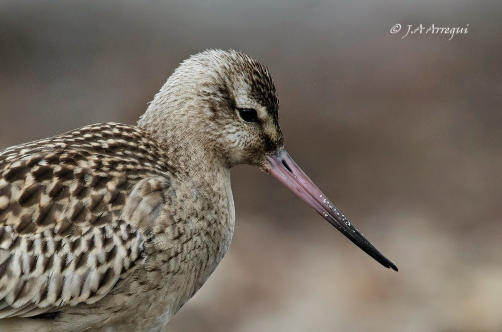 Aguja colipinta, Limosa lapponica, Bar-tailed Godwit