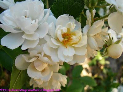 Rosa 'Guirlande d´Amour'