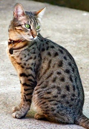 Top 5 Short Haired Cat Breeds