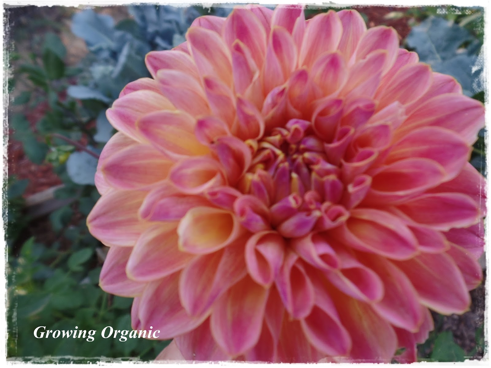 Growing Organic Dahlias
