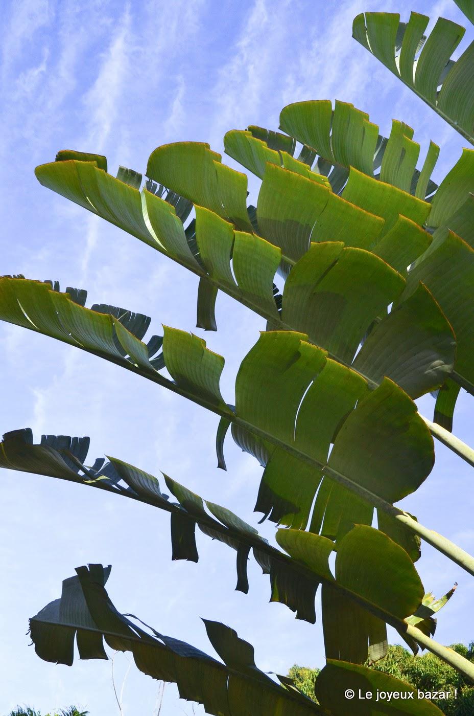 Guadeloupe - arbre du voyageur