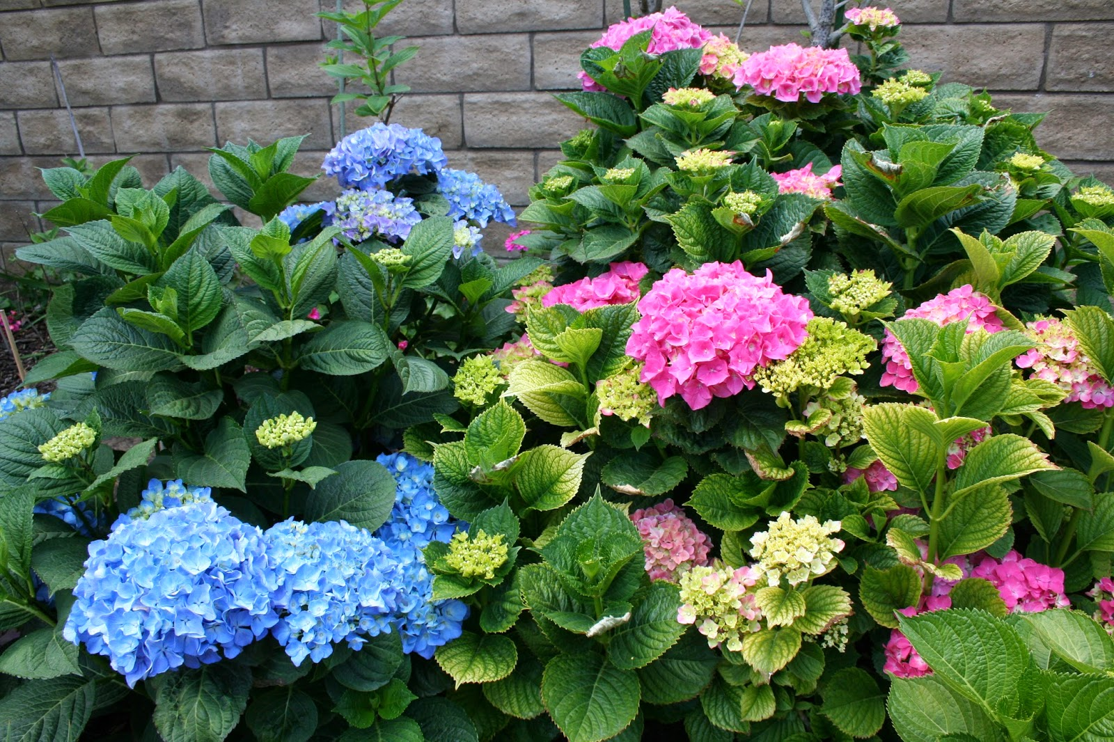 Also, Mixing Different Varieties, Lacecap And Mophead, Of Hydrangeas  (below) Provide An Interesting Effect In The Garden. Seems Like The Lacecap  Is More ...