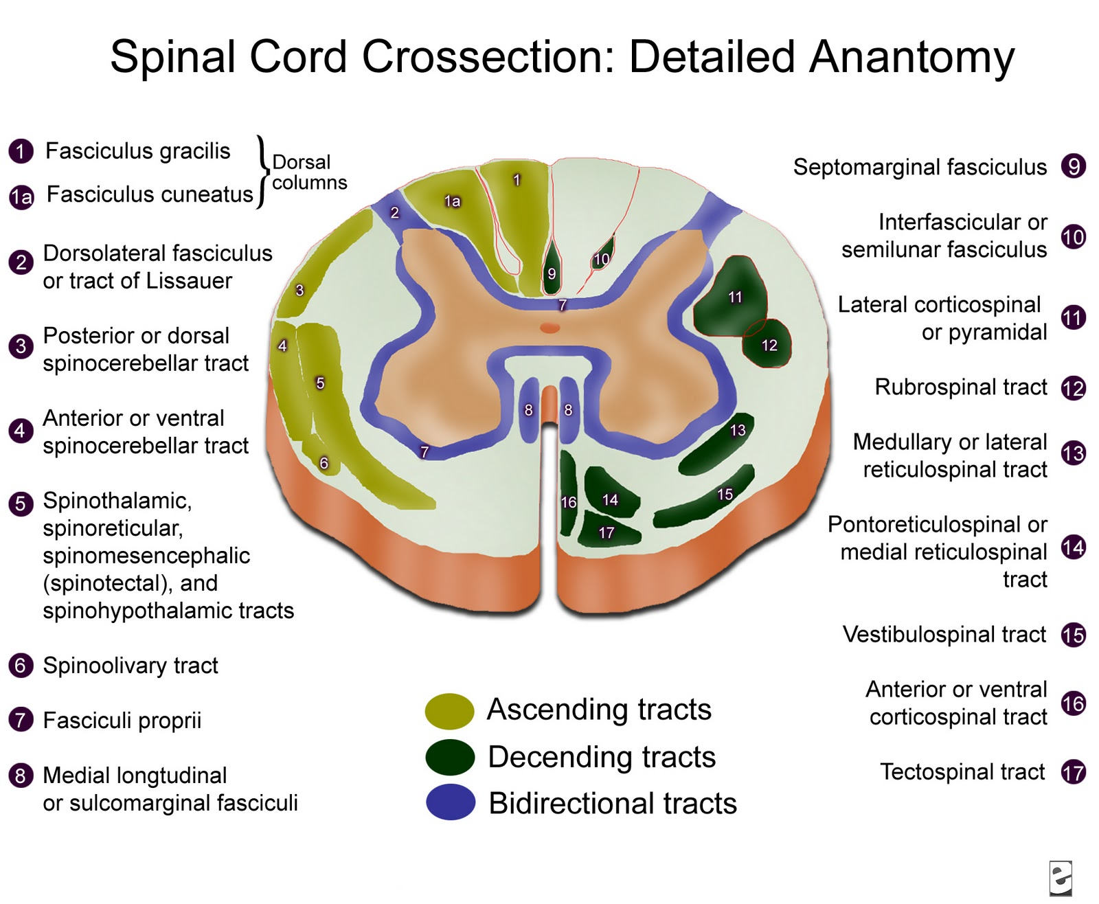 mine\'s: SPINAL CORD