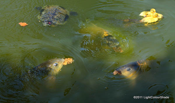 Carps and a turtle feeding on bread