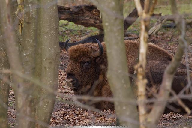 Wisent Stier - European Bison Bull - Bison bonasus