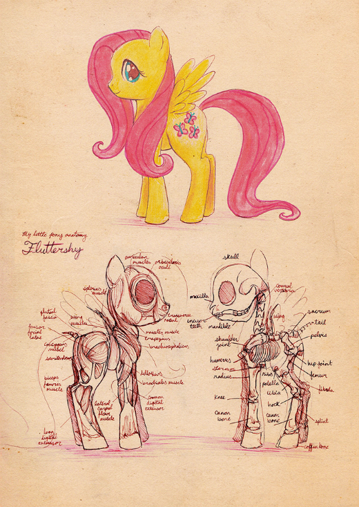 anatomy of a fluttershy