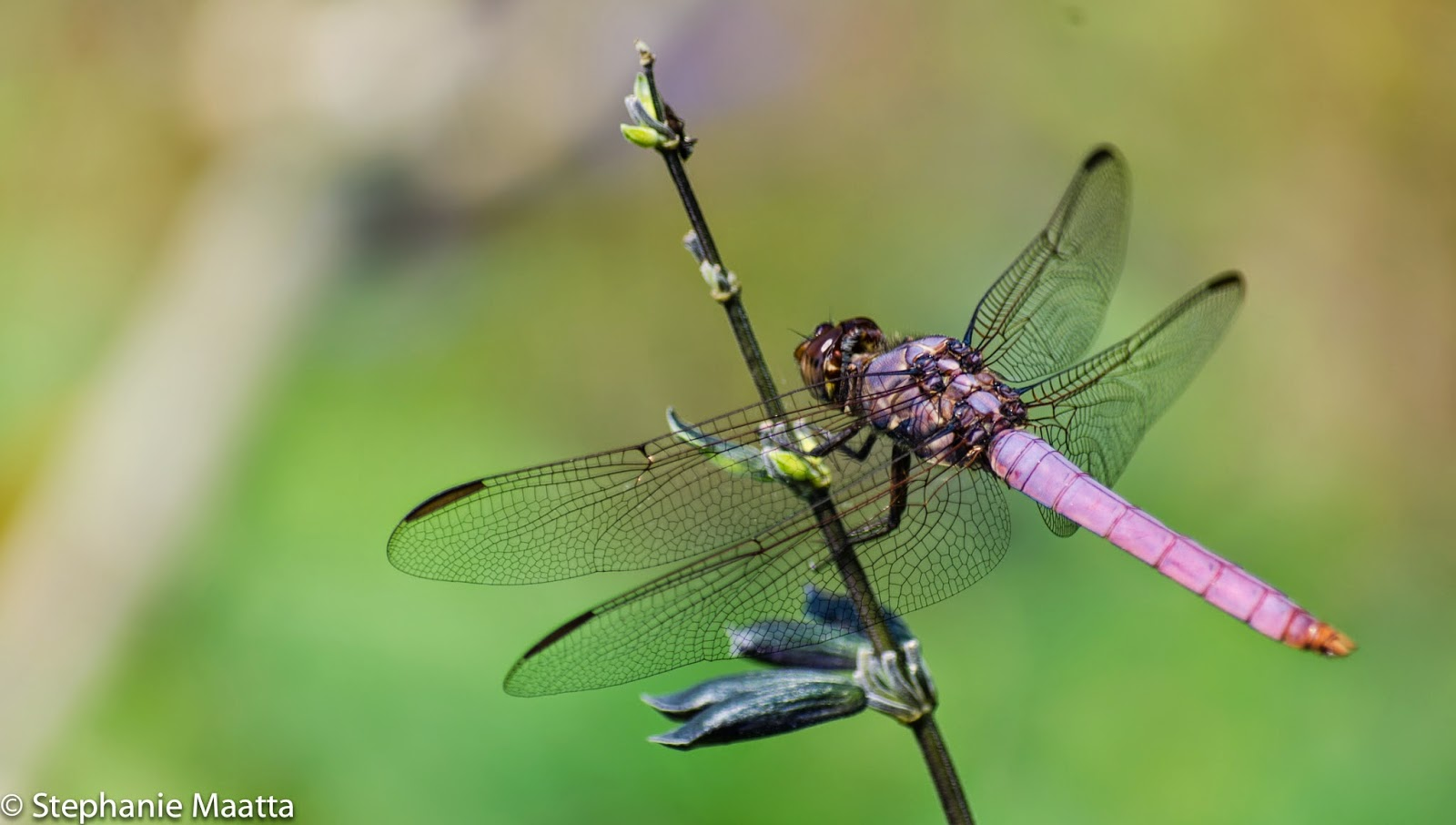 Roseate skimmer dragonfly image