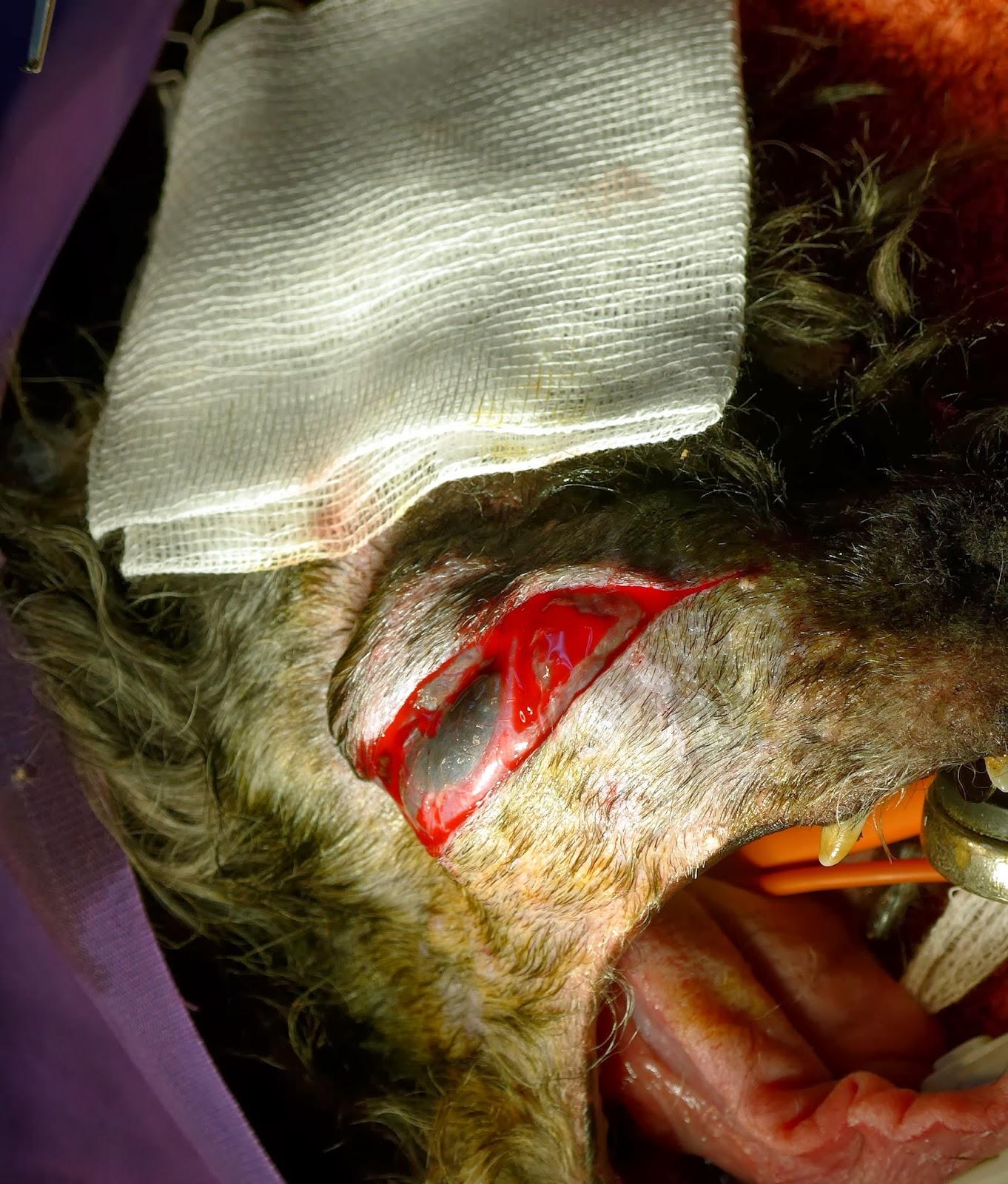 tumor bucal perro