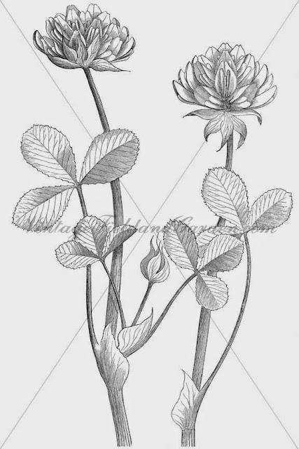 http://4.bp.blogspot.com/-IcIA07PAVRM/U9Zo6vLA9tI/AAAAAAAAJNo/v-_K6JzFf0E/s640/1886+Trifolium+fucatum+(Preview).jpg