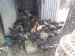 Pengobatan Perawatan Ayam Bangkok Aduan