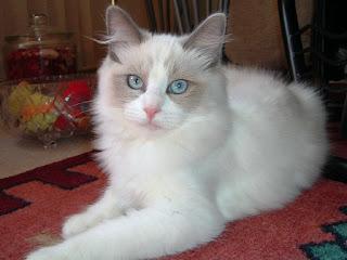 Ragdoll Cat Picture
