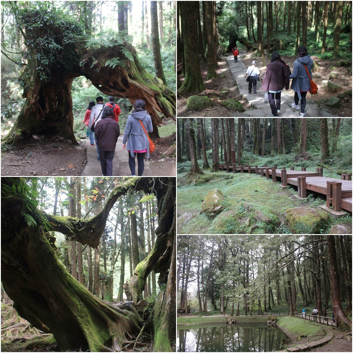 Hiking through the tree and love shape at Alishan Sacred Tree of Alishan Mountain in Chiayi County of Taiwan