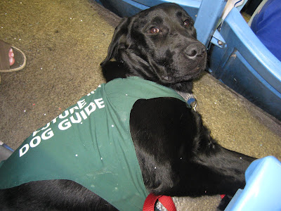 Black lab puppy Romero is lying on his side on the ground amid the blue plastic seats in the 500 level at the Rogers Centre. His head is lifted off of the floor, looking up into the camera. He is wearing his Blue Jays collar, red leash, and slightly dirty green Future Dog Guide jacket. His jacket and shiny black fur are sprinkled with small white paper circles, which have been punched out of All Star game voting ballots.