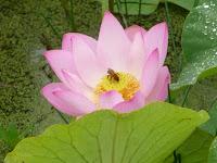 ハスの花は気高く凛として綺麗に咲いていた