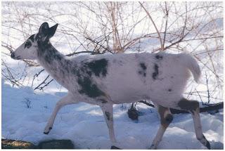 Albino Deer: Kinnelon Critter File