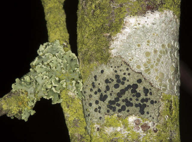A group of lichens on a shrub.  Lecanora chlarotera (top right);  Lecidella elaeochroma (bottom); unidentified foliose lichen, perhaps Parmelia species (left); Xanthoria polycarpa (far left, and probably all the yellow material). Orpington Field Club outing to Blackbush Shaw, Cudham, on 19 November 2011.