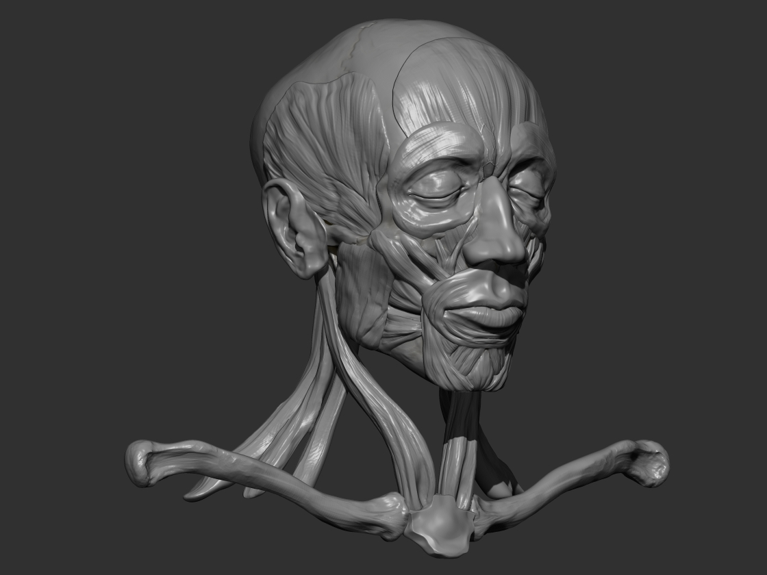 the art blog of aaron loftis: human ecorche - muscle study, Muscles
