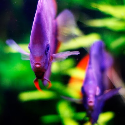 Tropical fish pictures exotic ornamental fish photos for Best place to buy discus fish