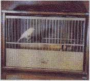 russian canary