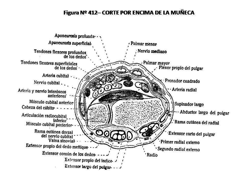 ATLAS DE ANATOMÍA HUMANA: 412. CORTE POR ENCIMA DE LA MUÑECA.