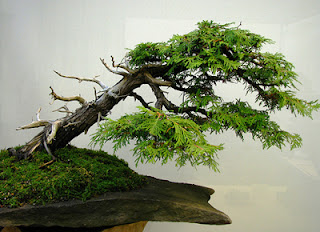 Eastern White Cedar Bonsai Tree