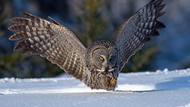Búho Lechuza en la nieve imagenes de aves exoticas