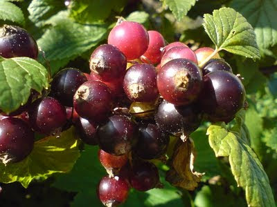 ripening blackcurrants
