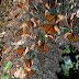 Mariposas monarca proceden de Norteamérica