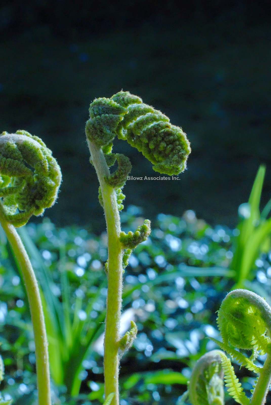 Fiddleheads - Ferns