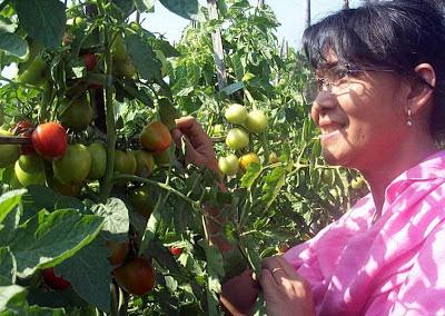 khasiat buah tomat untuk kecantikan