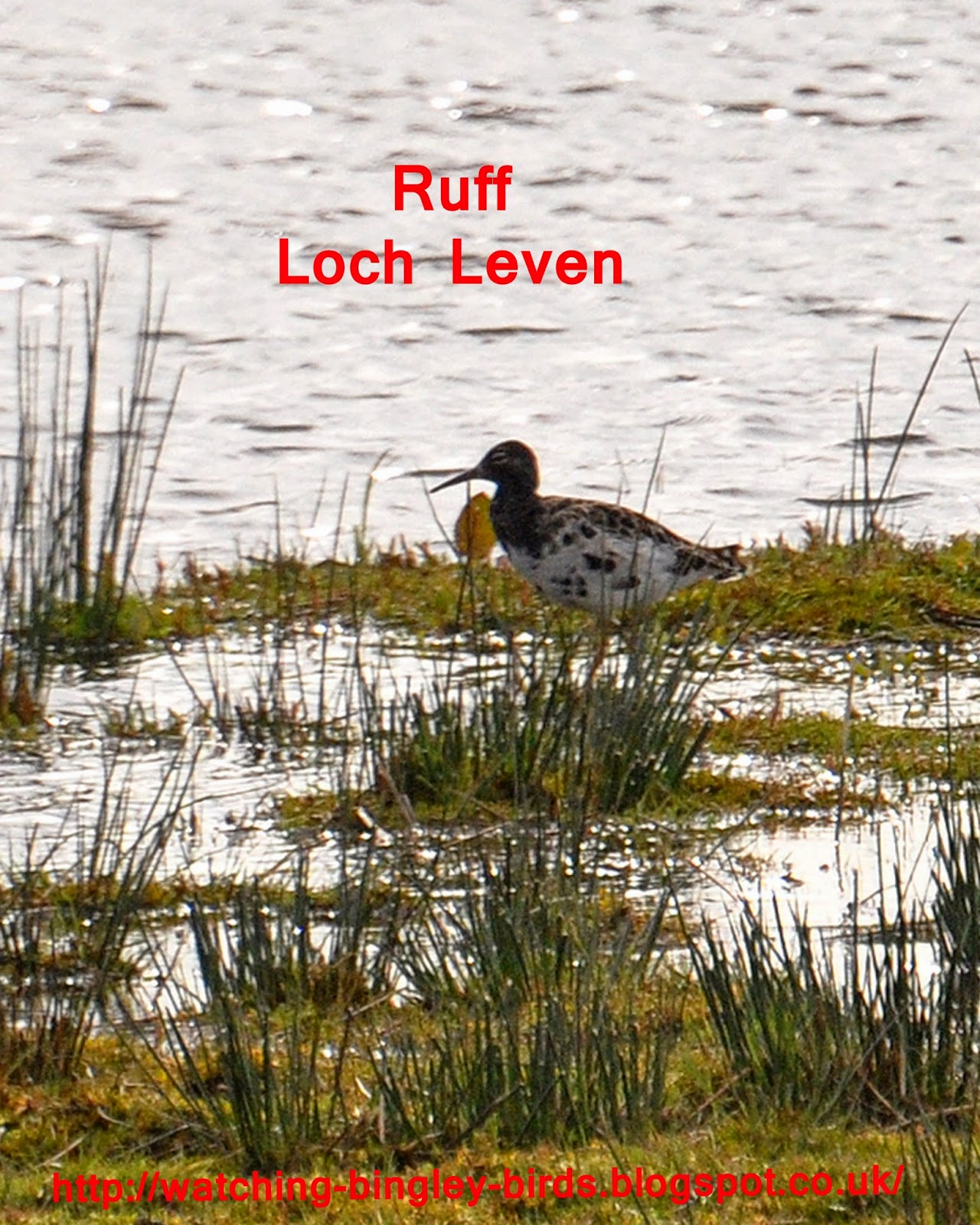 Ruff at Loch Leven