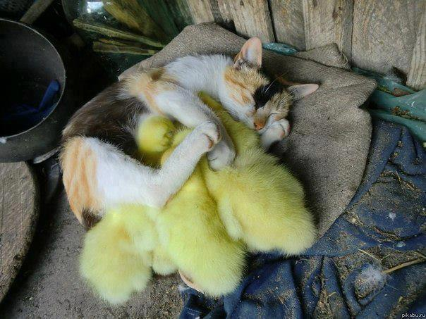 funny cat pictures, kitten and chicks sleeping together