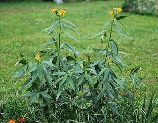 Jardineria, Catalogo de Plantas: Asclepias curassavica