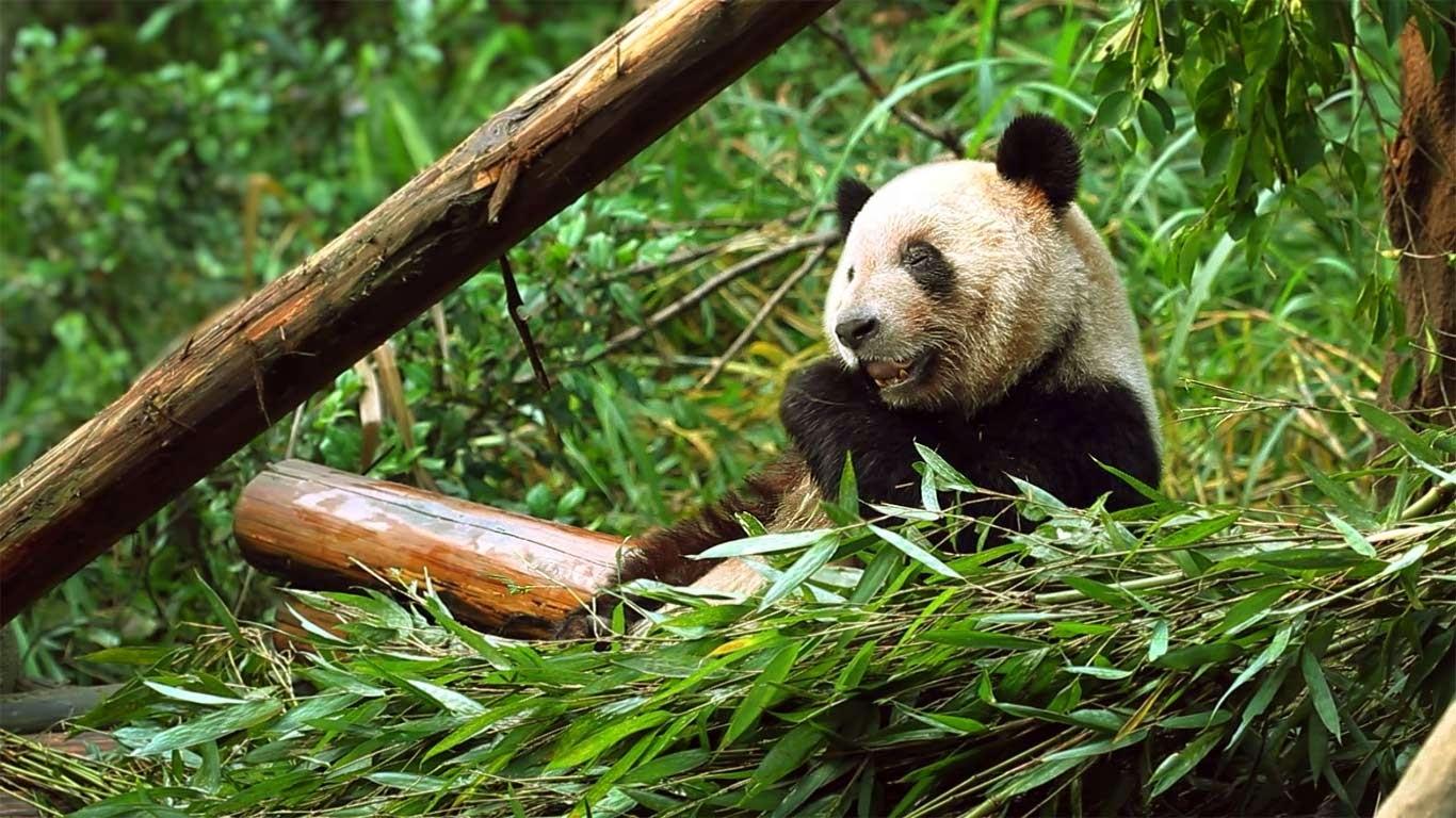 Panda chewing on bamboo shoots, Chongqing Zoo, Chongqing, China (© Getty Images) 166