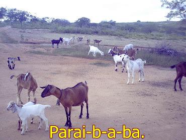 Criação de cabras.