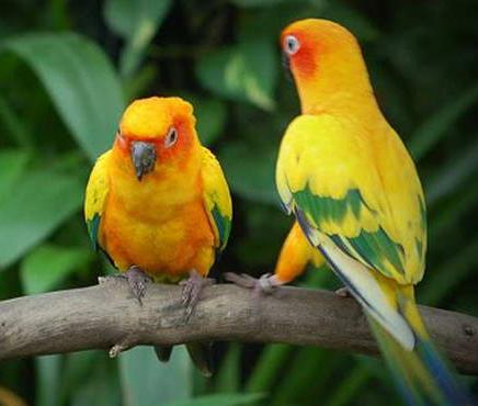 Usaha Budidaya Ternak Burung Lovebird