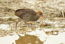 Slaty-breasted Rail_2011
