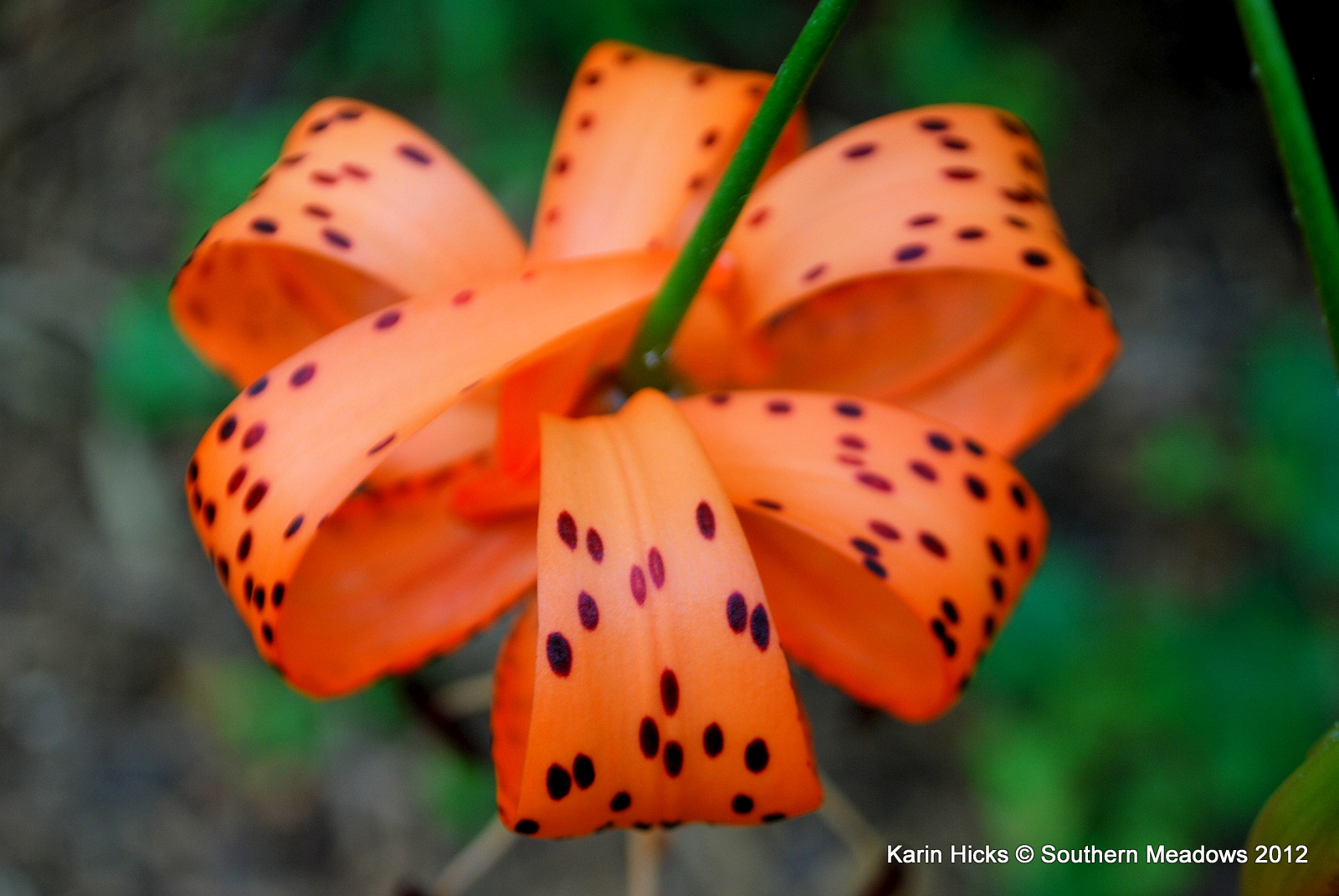 Southern meadows lily candy there is a superstition that says if you smell a tiger lily you will get freckles and i know the rest of that story izmirmasajfo Choice Image