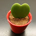 Product Review: Heart Shaped Cactus - Valentine's Day Gift Idea Beast or Bust