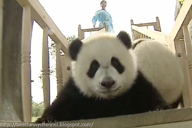 panda bears pictures 39