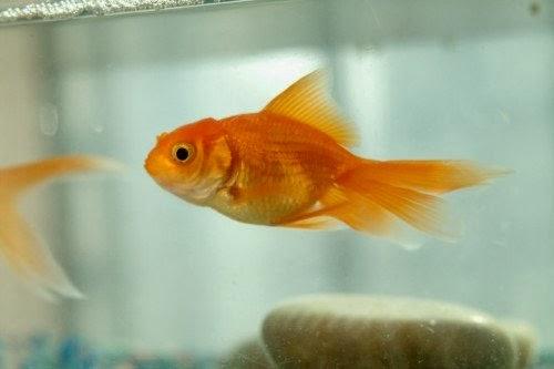 Akvaryum balık hastalıkları ve tedavisi