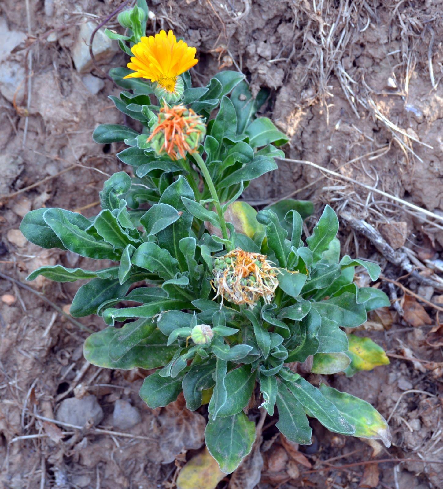 BIOMONCAYO: Caléndula officinalis (Caléndula )